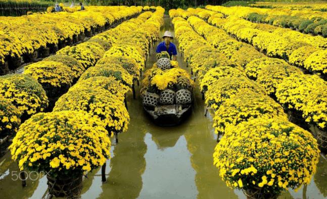 Bức ảnh thu hoạch hoa tại làng hoa Sa Đéc