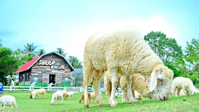 Những chú cừu dễ thương trong nông trại (Ảnh ST)