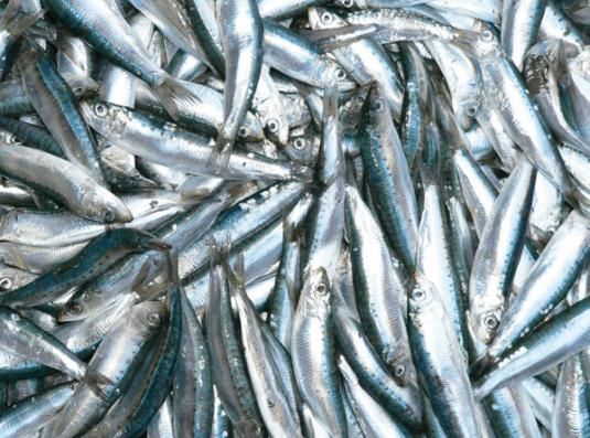 Loài cá trích có nhiều ở Phú Quốc