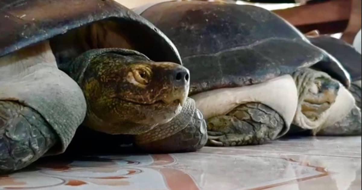 Cụ rùa trăm tuổi ăn chay thích nghe thiền tại chùa Phước Kiển