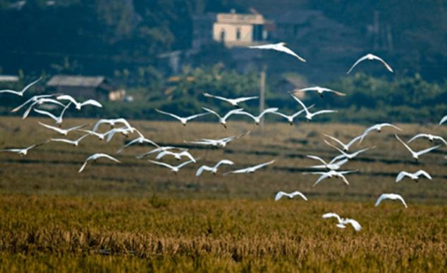 Hình ảnh đàn cò trắng tung cánh bay lượn trên cánh đồng