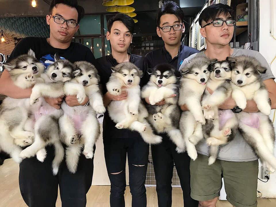 Hầu hết các bé cún tại đây đều là Alaska