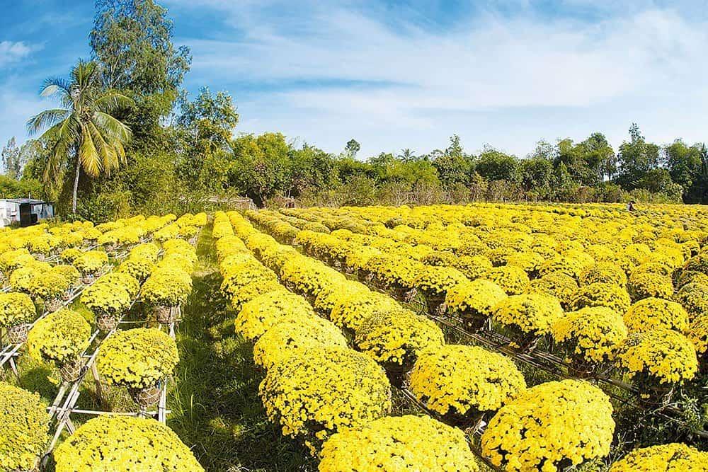 Làng hoa Sa đéc tràn ngập sắc vàng mỗi dịp tết
