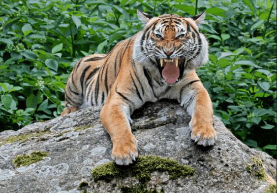 Ngắm nhìn vẻ đẹp mạnh mẽ của loài hổ Bengal