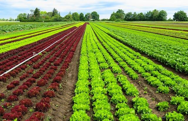 Các loại rau bà con nơi đây trồng chủ yếu là rau cải, nhiều loại khác nhau, xà lách, rau thơm, ngò, húng, mồng tơi, hành lá... (Ảnh ST)