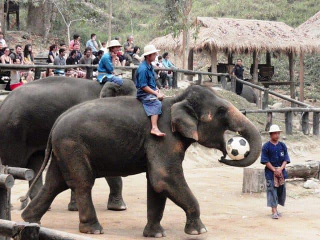 Những chú voi chơi bóng ở trại voi (Ảnh ST)