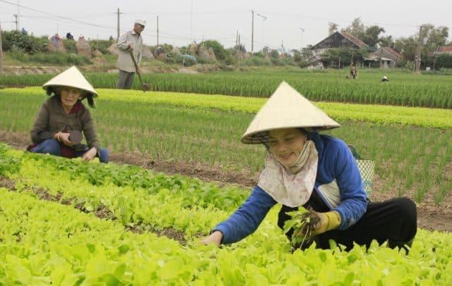 Những người nông dân chăm chỉ sản xuất rau để cung cấp đến nhà hàng, khách sạn TP Tuy Hòa (Ảnh ST)