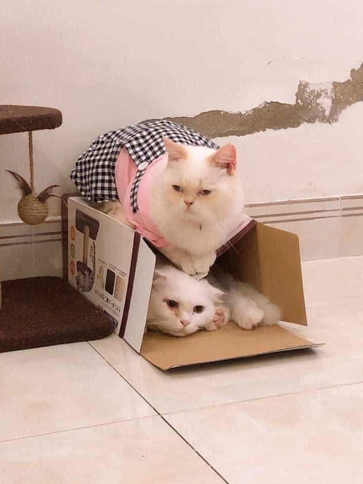 Những em mèo tròn trịa ú nu vô cùng đáng yêu