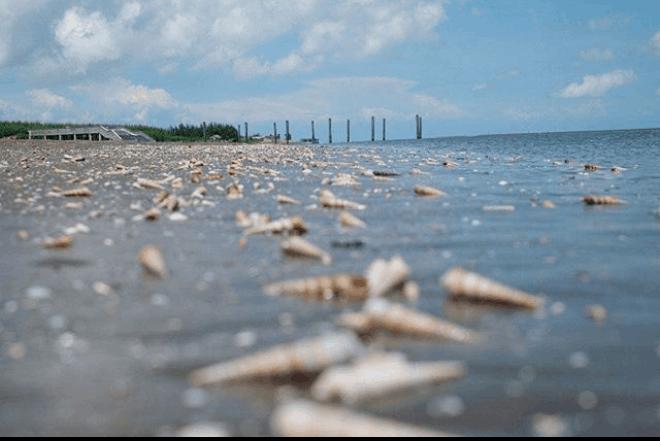 ốc viết tại biển Thạnh Phú