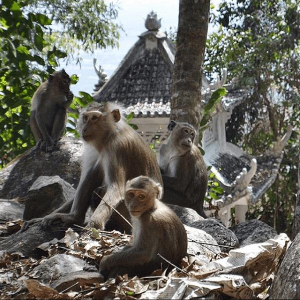 Những chú khỉ sinh sống gần chùa