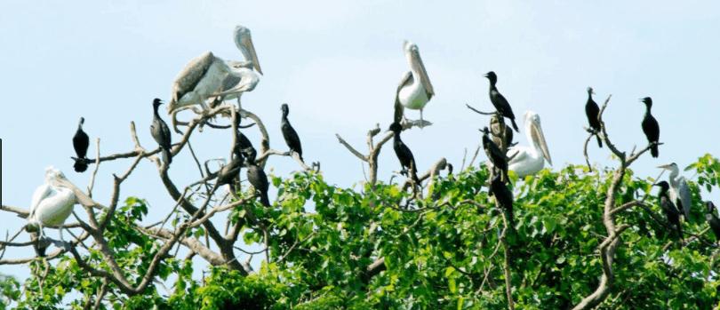 Sân chim Bạc Liêu tụ hội hàng ngàn con chim