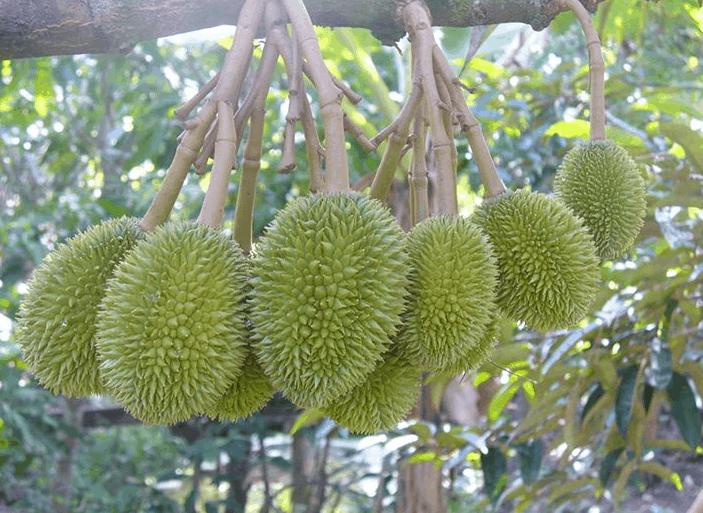 Chiêm ngưỡng chùm sầu riêng tại vườn trái cây Cái Mơn