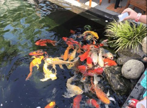 Chiêm ngưỡng đàn cá Koi dưới hồ