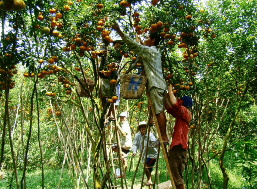 Mùa trái cây chín tại miệt vườn Cái Mơn