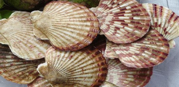 Sò quạt là một loại hải sản quen thuộc ở Nam Du