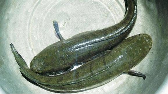 Cá ngon làm bún cá Kiên Giang