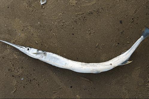 Cá xanh xương là một đặc sản của quần đảo Nam Du