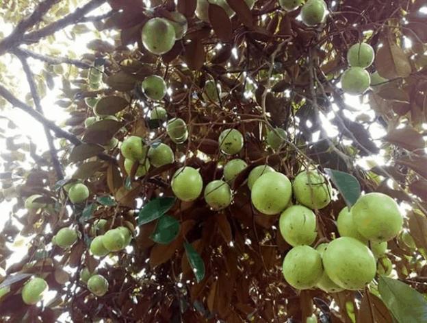 vườn trái cây út tiêu