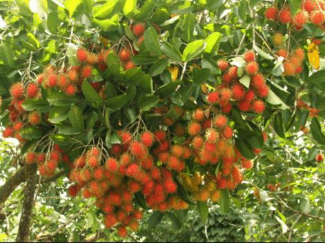 vườn chôm chôm