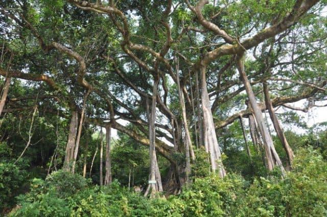 Cây cổ thụ nghìn năm tuổi giữa rừng ( Ảnh: ST)