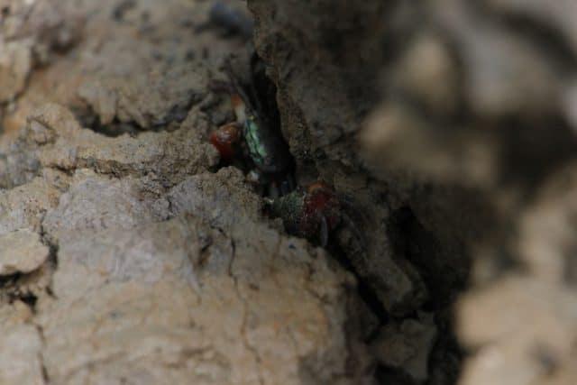 Loài cua nhỏ được tìm thấy rất nhiều ở rừng ngập mặn Rú Chá Huế. (Ảnh: ST)