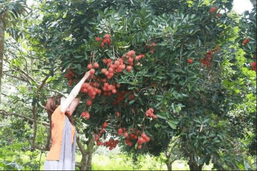 vườn cây trái gần sài gòn