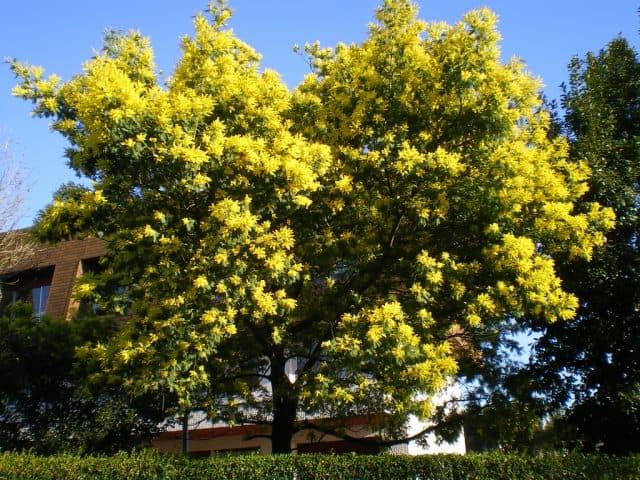Cây Mimosa chỉ có tại Đà Lạt (Ảnh ST)