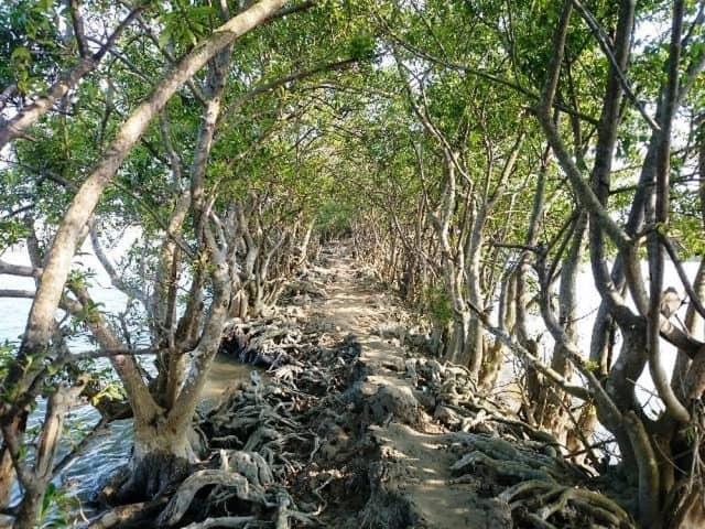 Con đường đất với những bộ rễ dài của cây rừng ngập mặn. (Ảnh: ST)