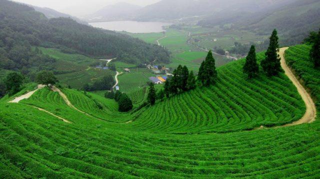 Hình ảnh đồi trà Tâm Châu (Ảnh: ST)