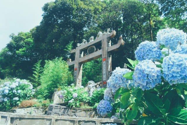 vườn hoa cẩm tú cầu cao bằng