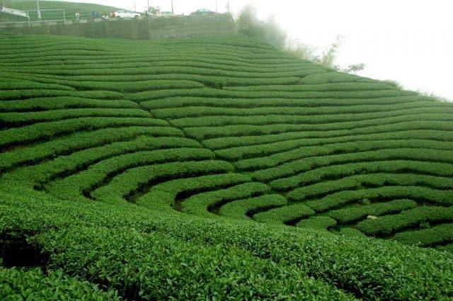 Đồi chè xanh ngát ở Đài Loan (Ảnh: ST)