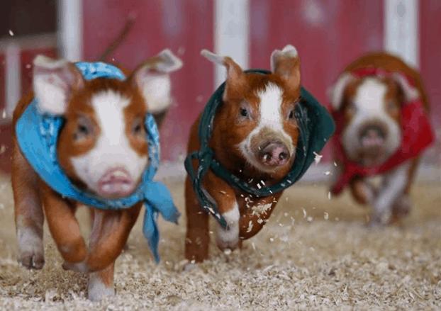 Nếu đến đây thì nhớ hỏi hướng dẫn viên ý nghĩa cuộc đua lợn này nha, đảm bảo sẽ hay ho lắm