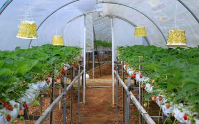 Trang trại dâu tây ở Philippines (Ảnh: ST)