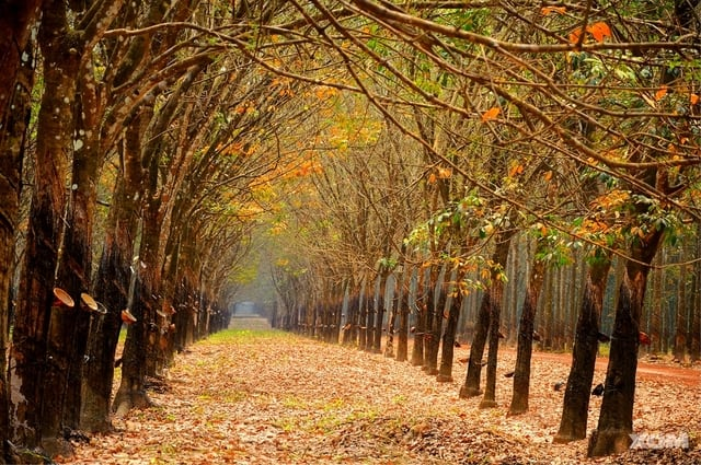 The leafy road is as beautiful as the West road to the rubber forest in Bu Dang