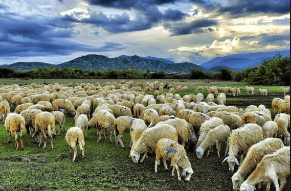 Cánh đồng cừu đượm màu cổ kính liêu trai là địa điểm du lịch Vũng Tàu rất được yêu thích (ảnh ST)