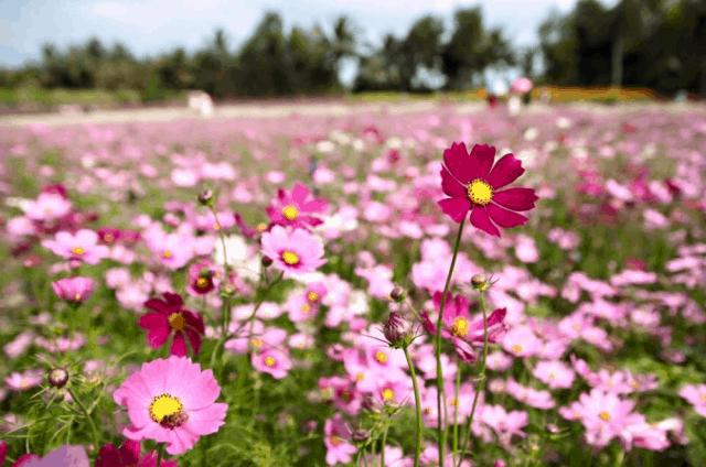 Hoa cosmos - một trong những giống hoa đầu tiên được trồng tại Mãn Đình Hồng (ảnh ST)