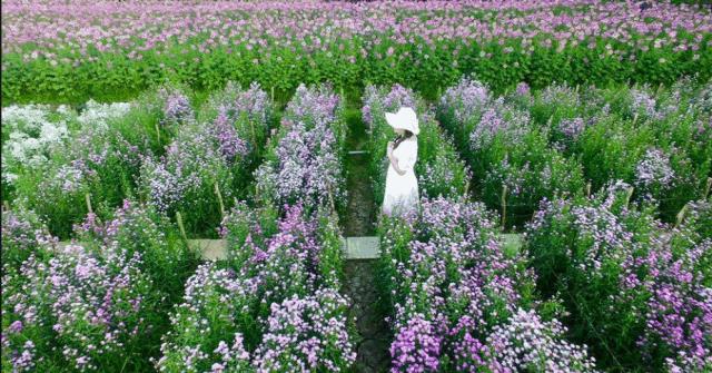 Đi giữa những luống hoa, cảm nhận hương sắc thiên nhiên (ảnh ST)