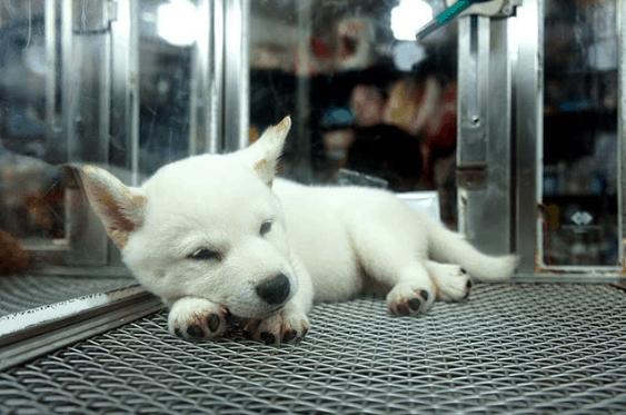 Thỉnh thoảng bạn có thể bắt gặp vài chú cún xinh xinh trong các cửa hiệu thú cưng đấy!