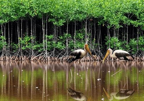 Cơ hội chứng kiến những loài động thực vật độc lạ thế này chỉ có tại rừng đước Trà Vinh