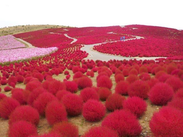 Kochia vào mùa thu chuyển sang màu đỏ (ảnh ST)