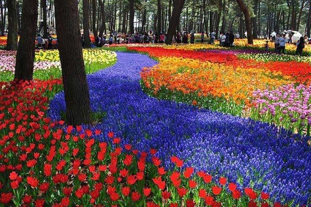 Vườn hoa trên Đồi cây Kochia - Ibaraki đẹp ngáy ngây (Ảnh ST)
