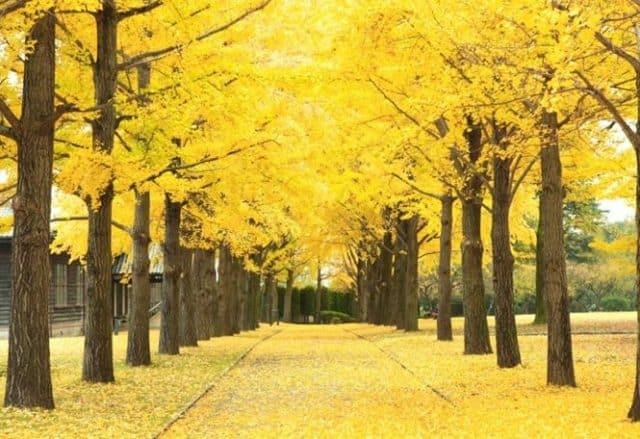 Đồi cây Kochia - Ibaraki mùa thu