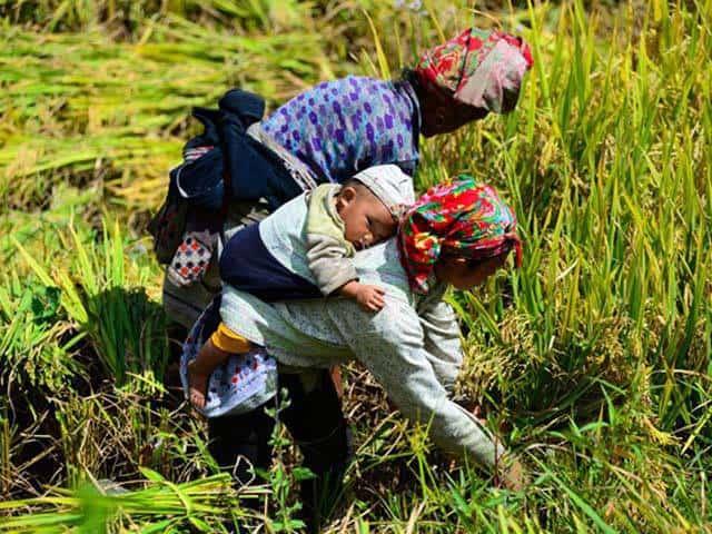 Em bé ngủ trên lưng mẹ trong mùa thu hoạch (ảnh ST)