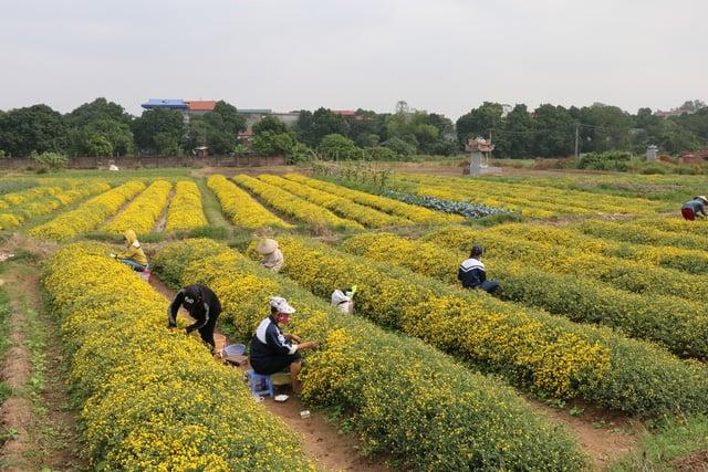Cánh đồng hoa cúc vào mùa thu hoạch (ảnh ST)