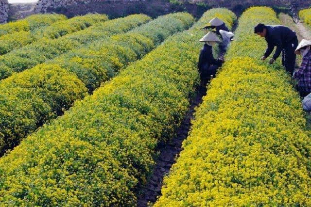 Cúc ở đây được trồng làm thuốc (ảnh ST)