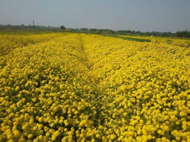 Ngất ngây trước vẻ đẹp cánh đồng hoa cúc ở Hưng Yên (ảnh ST)