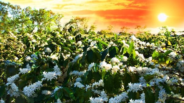 cánh đồng hoa cafe đà lạt