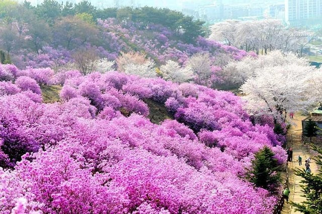 Thảm hoa mùa xuân Sapa bồng bềnh, nhẹ nhàng đến ngây người