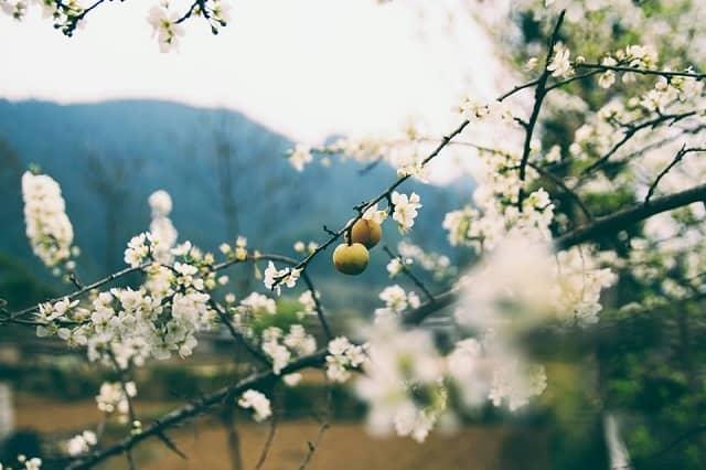Màu trắng tinh khôi của hoa mận trải dài khắp các triền đồi Sapa