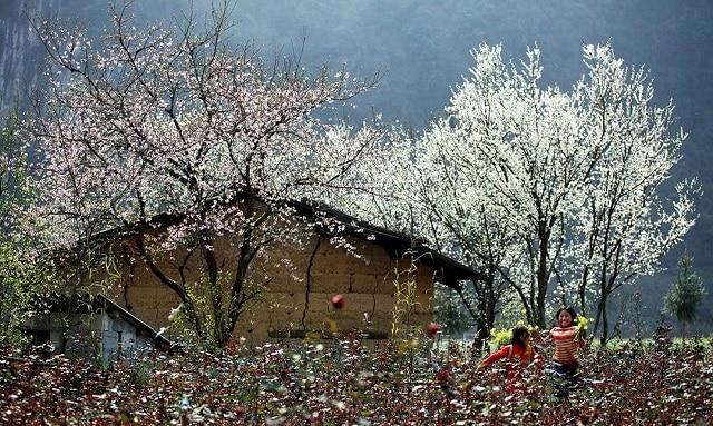 Mùa xuân hoa ban, hoa mận, hoa đào nở trắng Mộc Châu